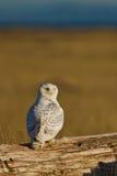 斯诺伊猫头鹰(腹股沟淋巴肿块scandiacus)。 免版税图库摄影