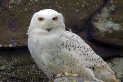 斯诺伊猫头鹰(腹股沟淋巴肿块scandiacus) 库存照片
