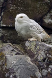 斯诺伊猫头鹰(腹股沟淋巴肿块scandiacus) 库存图片