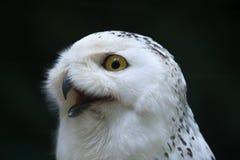 斯诺伊猫头鹰(腹股沟淋巴肿块scandiacus) 免版税库存图片