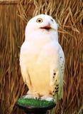 斯诺伊猫头鹰-腹股沟淋巴肿块scandiacus 免版税库存照片