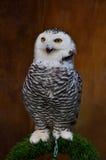 斯诺伊猫头鹰& x28; 腹股沟淋巴肿块scandiacus& x29; 免版税图库摄影