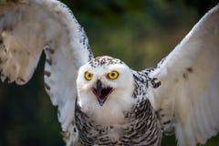 斯诺伊猫头鹰细节与额嘴的开放在黑暗的背景 免版税图库摄影
