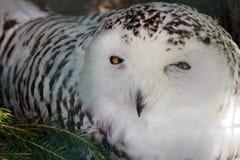 斯诺伊猫头鹰 库存照片