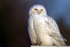斯诺伊猫头鹰 免版税库存照片