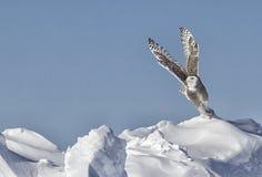 斯诺伊猫头鹰 免版税库存图片