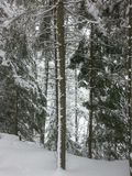 斯诺伊由后照的树在冬天森林里 免版税图库摄影