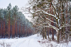 斯诺伊结构树在森林里 库存图片