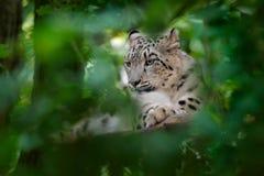 斯诺伊豹子 面对雪豹画象与绿色vegation,克什米尔,印度的 从亚洲的野生生物场面 bea细节画象  图库摄影