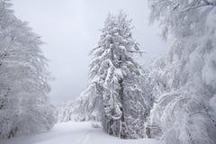 斯诺伊领域、树和冷杉,在孚日省的冬天,法国 免版税库存照片