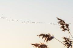 斯诺伊鸟芦苇和群  与芦苇和群的模糊的图象 免版税库存图片