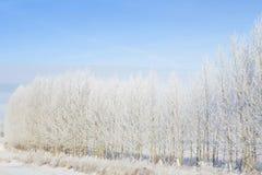 斯诺伊结构树在公园 森林本质星期日冬天 免版税库存照片