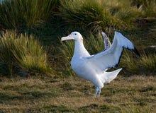 斯诺伊(漫步)信天翁,格罗特Albatros, Diomedea (exulans) 库存图片