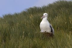 斯诺伊(漫步)信天翁,格罗特Albatros, Diomedea (exulans) 免版税图库摄影