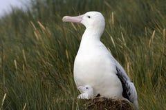 斯诺伊(漫步)信天翁,格罗特Albatros, Diomedea (exulans) 免版税库存照片