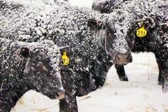 斯诺伊黑色安格斯母牛 免版税库存照片