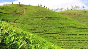 斯里兰卡在nuwara eliya的茶园山 影视素材
