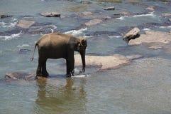 斯里兰卡大象孤儿院 库存照片