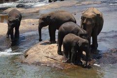 斯里兰卡大象孤儿院 图库摄影