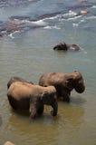 斯里兰卡大象孤儿院 免版税库存图片