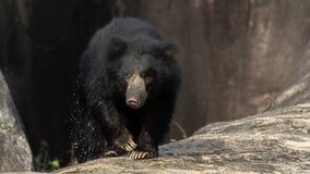 斯里兰卡的印度的一种长毛熊! 免版税图库摄影