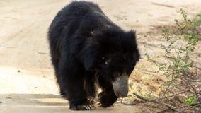 斯里兰卡的印度的一种长毛熊! 免版税库存照片