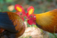 斯里兰卡的原鸡 图库摄影