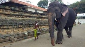 斯里兰卡的大象 免版税库存图片