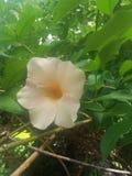 斯里兰卡的密林未知的美丽的花  免版税图库摄影