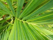 斯里兰卡的棕榈照片美丽的cyrtostachys树  库存照片