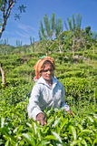从斯里兰卡的泰米尔人妇女打破茶叶 免版税库存照片