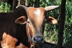 从斯里兰卡的海岛的一头公牛 免版税库存照片