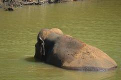 斯里兰卡的狂放的大象在水中 库存照片