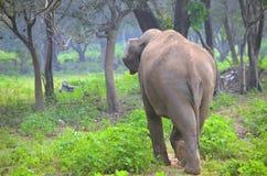 斯里兰卡的狂放的大象 库存照片