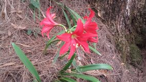 斯里兰卡的狂放的红色花 免版税库存照片