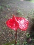 斯里兰卡的红色Anthurian花 免版税图库摄影