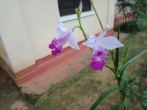 斯里兰卡的美丽的自然紫色颜色花 库存照片