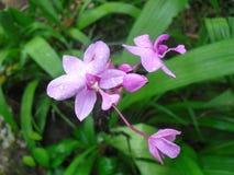 斯里兰卡的自然兰花花 免版税图库摄影
