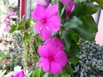 斯里兰卡的自然浅粉红色的颜色Beautful花 免版税图库摄影