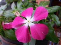 斯里兰卡的自然浅粉红色的颜色Beautful花 免版税库存照片
