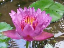 斯里兰卡的自然罗斯颜色荷花花 免版税图库摄影