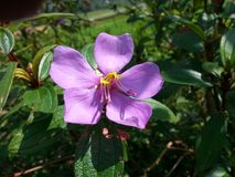 斯里兰卡的自然美丽的紫色野花 库存图片