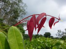 斯里兰卡的自然美丽的Na叶子 库存图片
