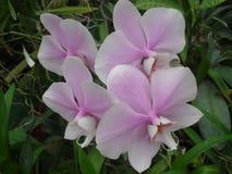 斯里兰卡的自然花 库存图片