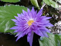 斯里兰卡的自然轻紫色荷花花 库存照片
