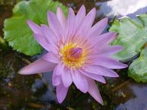 斯里兰卡的自然黑暗的桃红色颜色荷花花 免版税库存照片