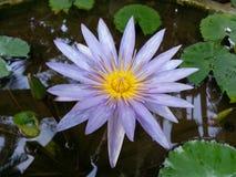 斯里兰卡的自然黑暗的紫色荷花花 免版税库存照片