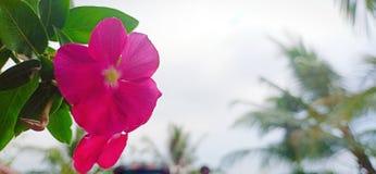 斯里兰卡的自然mandevilla花 免版税库存照片