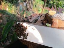 斯里兰卡的蜂他们是非常活跃的 免版税库存照片