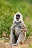 斯里兰卡的野生生物 与开放枪口的动物 共同的叶猴, Semnopithecus entellus,猴子用在嘴的果子,自然habi 免版税库存照片